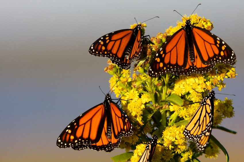 Rhode Island Monarch Butterfly