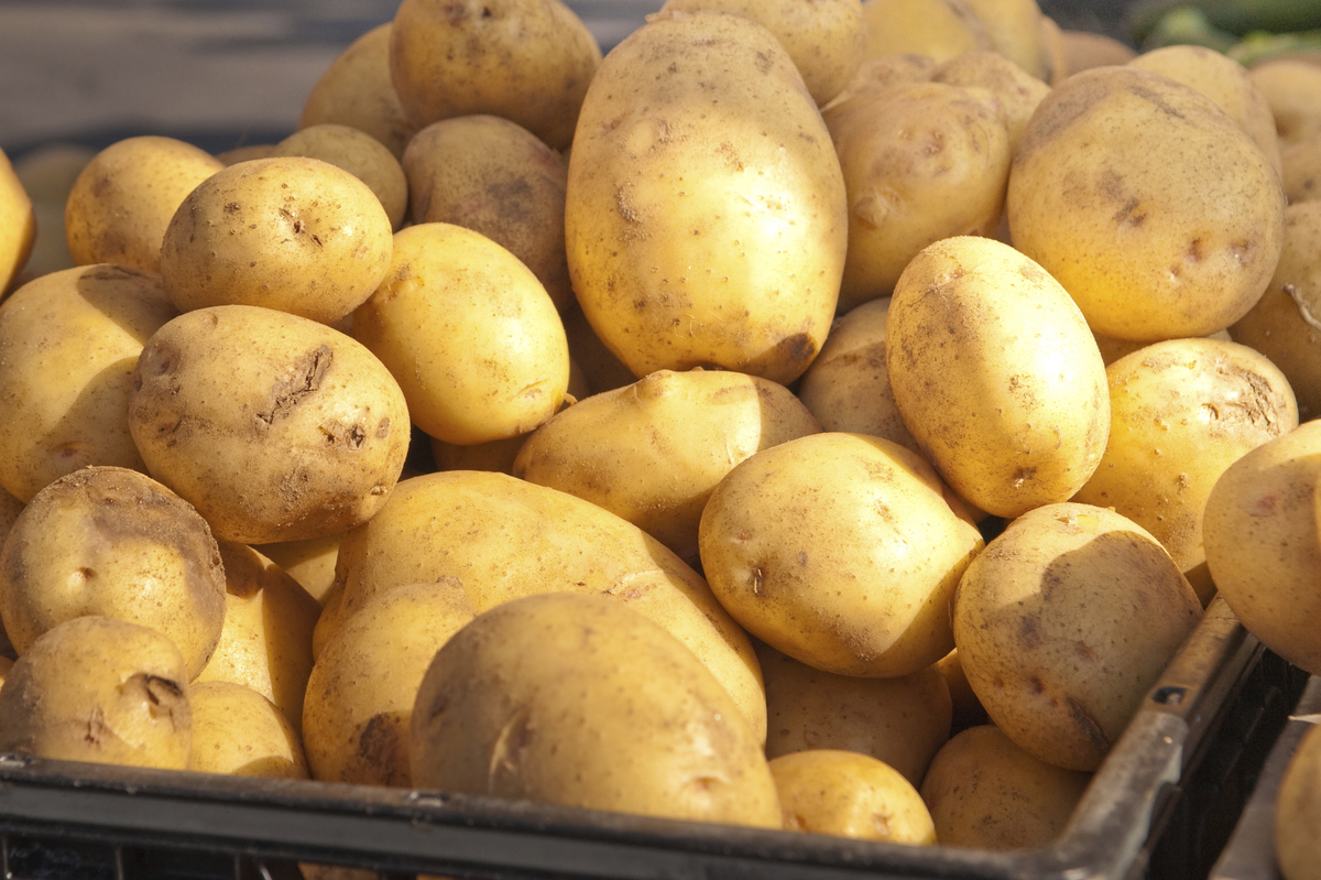 Poorly Tested Gene Silencing Technology to Enter Food Supply with Simplot Potato
