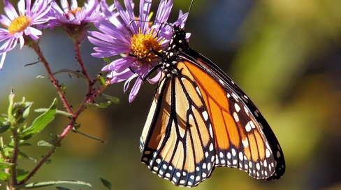 The U.S. Fish and Wildlife Service is now legally bound to determine whether to protect imperiled monarch butterflies under the Endangered Species Act