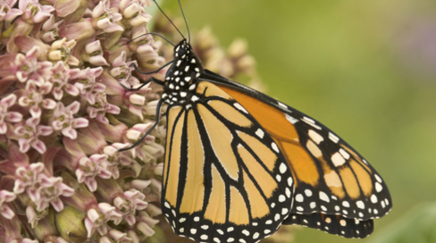 50+ Members of Congress Urge Obama Administration to Protect Monarch Butterfly Under Endangered Species Act