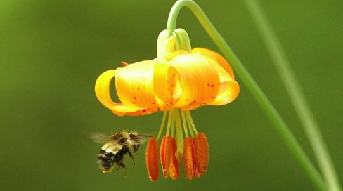 Bumblebee pollinating squash blossom
