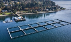 To Protect Wild Steelhead, Salmon, Orcas, Environmental Groups Appeal Approval of Puget Sound Commercial Net Pen Aquaculture to Washington's Supreme Court