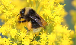 Court Rules State of California Lacks Authority to Protect Imperiled Bumble Bee Species Under the California Endangered Species Act
