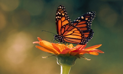 UPDATE: MAJOR VICTORY ON MONARCHS PROTECTION— Monarch Butterflies Put on Candidate Waiting List for Endangered Species Act Protection